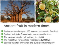 Baobab: might there be some magical quality which comes from eating the fruit grown by such very ancient trees? Baobab Tree, One Tree, Modern Times, Trees, Science, Fruit, Tree Structure, Wood