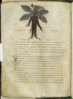 Medieval Manuscript Images, Pierpont Morgan Library, De materia medica. MS M.652 fol. 103v