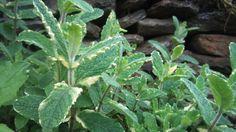 Menta variegata sabor piña