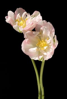 Twin Tulip Ruffles