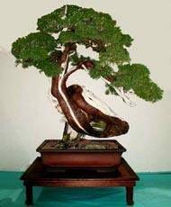 drzewko bonsai jałowiec