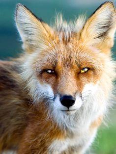 Red Fox by Natalia B