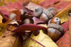 Acorns with autumn leaves Autumn Forest, Detailed Image, Acorn, Autumn Leaves, Photography, Photograph, Tassel, Fall Leaves, Fotografie