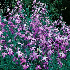 Matthiola Bicornis Night Scented Stock not much to look at but you really aught to grow it, it has a really awesome smell of summer and coconut lotion... mmmmn on a warm evening