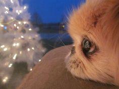 Sweet little Pekingese looks like my Emily.  :(