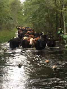 Dogs are leading the cows after a hurricane. The real guardians (Source: http://ift.tt/2hhwsN8)