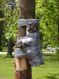 One of our customers lost a tree in a storm that held a nesting cavity for three juvenile Pileated Woodpeckers. He quickly mounted the section of the trunk with the nest and secured with duct tape. All three birds survived and to my knowledge this is the first recorded duct tape woodpecker house. Kits for a duct tape house can be purchased in 30 yard rolls at your local hardware store. For all your other birding needs visit Old Bob's.