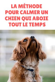 Votre chien ne cesse pas d'aboyer ? Découvrez la méthode pour calmer un chien … Does your dog keep barking? Discover the method to calm a dog that barks all the time! Put an end to your dog's barking and find calm at home! Small Puppies, Dogs And Puppies, Baby Dogs, Pet Dogs, Dog Icon, Puppy Face, Dog Wedding, Dog Hacks, Dog Barking