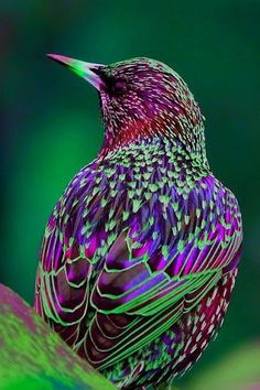 """Spreeuw / Starling (Sturnus vulgaris) by Serge. """"Common starling (Sturnus vulgaris) has iridescent plumage and is a passerine bird."""" There are about 12 sub-species. Wild Animals Pictures, Animal Pictures, Bird Pictures, Colorful Pictures, Exotic Birds, Colorful Birds, Colorful Animals, Tropical Birds, Exotic Pets"""