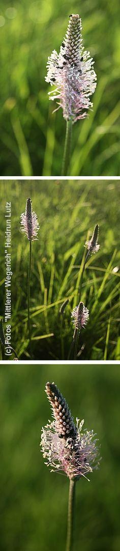 Der mittlere Wegerich. Weniger bekannt und verbreitet als seine Verwandten der Spitz- und Breitwegerich - mit eindeutig hübscherer Blüte.
