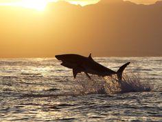 ¿Qué ocurre con estos tiburones?