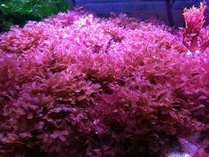 Flame Algae - Bryothamnion sp. - macro algae