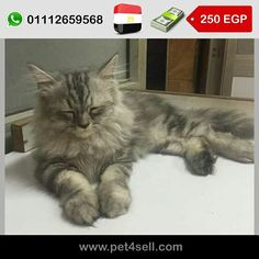 16d8deaa1 Egypt, Cairo shirazii (moon face) for sale cute and very playfull male and