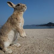 "Known as ""Rabbit Island,"" Okunoshima is home to hundreds, if not thousands of bunnies and has now become a tourist hot spot -- however things got a bit hairy when animal lovers were met by a stampede of wild rabbits. Bunny Island, Rabbit Island, Monkey Island, Wild Rabbit, Beach Bunny, Animal Party, Party Animals, Animal House, Island Life"