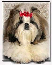 Shih Tzu Ultra's Heartbreak Kid modeling Butterfly Bows.