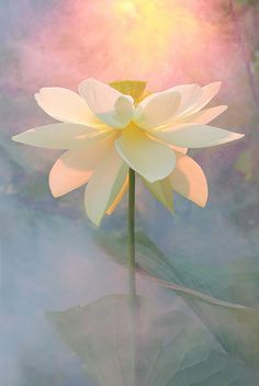 Lotus Flower - DD0A2851-1000 by Bahman Farzad**