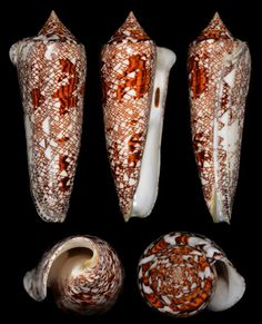 Chitse Lee Conus bengalensis 121.3mm (FREAK Lip) 孟加拉芋螺  121.3mm. FREAK Lip, With Operculum. Trawled at 80-120 meters from Racha Islands, PHUKET, Andaman Sea, Thailand.