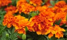 Marigolds – Mother Mary's Gold. www.essentials.co.za