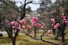 Kenrokuen park, fleurs de prunier.   http://www.flickr.com/photos/gwendy01/