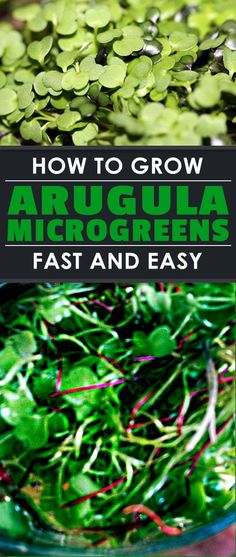 If you're just starting out in microgreens, growing arugula microgreens is a fantastic first crop. They're simple to grow and taste delicious.