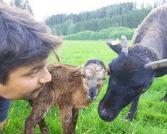 Das kleine 1×1 der Kamerunschafe: Liebenswerte Zeitgenossen - Das perfekte Selbstversorgerschaf ist unserer Meinung nach das Kamerunschaf. Bei dem 30-minütigen Tiererlebnis erfährst Du alles rund um das Kamerunschaf. Die Vor- und Nachteile dieser Rasse, die Haltung und Pflege und zu guter Letzt natürlich auch die Verwertung des Fleisches. Goats, Animals, Sheep, Woodland Forest, Nursing Care, Animales, Animaux, Animal, Animais