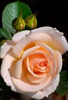 hybrid tea roses for containers Beautiful Rose Flowers, Amazing Flowers, Beautiful Flowers, Rose Pictures, Flower Photos, Rosen Beet, Rosa Rose, Hybrid Tea Roses, Orange Roses
