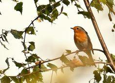 Ook het vrouwtje zingt - Vogels - Roodborst