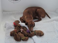 Momma watching over her pups. Our Ginger is Miss Pink.