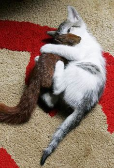 Cat apparently brought a squirrel home from the park and adopted it into her family of kittens. Click to read story...