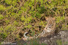 Leopard on rock... :)