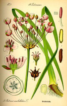 butome / butomus umbellatus L.