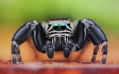 Macro photograph of a jumping spider. I love these spiders with their gem-like eyes. Macro photography makes them look huge but they are actually rather small. (Photographer Dusan Beno)