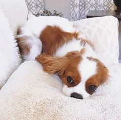 Find Out More On Energetic Cavalier King Charles Spaniel King Charles Puppy, Cavalier King Charles Dog, Charles Charles, King Charles Spaniels, Cute Little Animals, Cute Funny Animals, Cavalier King Spaniel, Spaniel Puppies, Cocker Spaniel