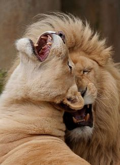 Lion and lioness. - As a working mother, Edith King resented the fact that she was also expected to bring home the dinner night after night. Lion And Lioness, Lion Of Judah, Nature Animals, Animals And Pets, Cute Animals, Beautiful Cats, Animals Beautiful, Amstaff Puppy, Lion Love