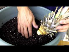 Pineapple Plants: How to Grow a Pineapple - YouTube