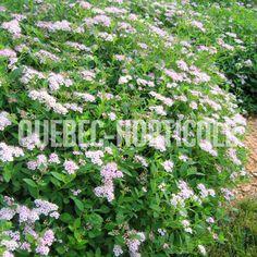 image de Spiraea japonica Little Princess Little Princess, Photos, Image, Gardens, Note Cards, Plant, Pictures, Photographs, A Little Princess