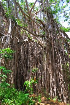 A giant banyan tree in Tanna Island - Vanuatu. Nobody quite knows for sure how old this tree is but it is the size of a football pitch!
