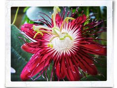 'Lady Margaret' Passionflower