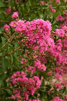 'Hopi' Crape Myrtle is a semi-dwarf, pink cultivar is an upright small tree.  It reaches 7-10' tall with high mildew resistance.