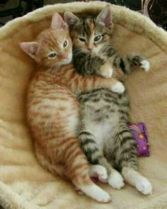 Cute kittens snuggling together Cool Cats, I Love Cats, Crazy Cats, Cute Kittens, Kittens And Puppies, Tabby Kittens, Pretty Cats, Beautiful Cats, Animals Beautiful