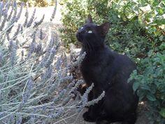 Black Cats in lavender field