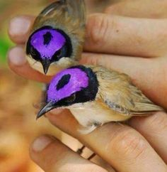 Purple-crowned Fairywren: I wonder if this is a protective camouflage for a pair - it looks like eyes.