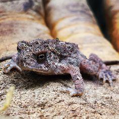 Hoppy little guy found at our Reichert Preserve! Only one way to find out if he's a toad or a prince