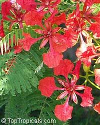 Delonix regia, Poinciana regia, Flame tree, Flamboyant, Royal poinciana, Gul Mohr, Peacock Flower  Click to see full-size image