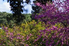 Judas tree (Cercis siliquastrum) blooming at the Palatine Hill, Rome