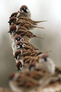 Fila de gorriones http://www.animalesomnivoros.es/aves-omnivoras/