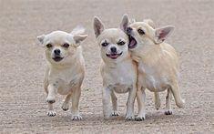 Three little Chihuahuas! Que bonitas! Te Quiero! #chihuahua