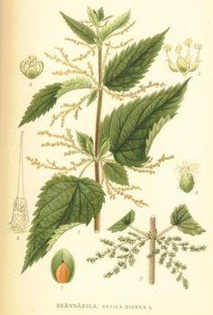 Stinging nettle (Urtica dioca, Urticaceae). From 'Bilder ur Nordens Flora' (1917-1926) by C . A. M. Lindman (public domain image). Source: Projekt Runeberg.