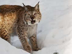 DeviantArt is the world's largest online social community for artists and art enthusiasts, allowing people to connect through the creation and sharing of art. Eurasian Lynx, Deviantart, Lynx