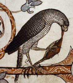 Medieval Bestiary : Hawk Gallery
